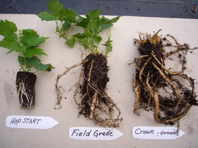 Hop Plants Vs Rhizomes Beer Wine Mead Cider Brewing Discussion Community