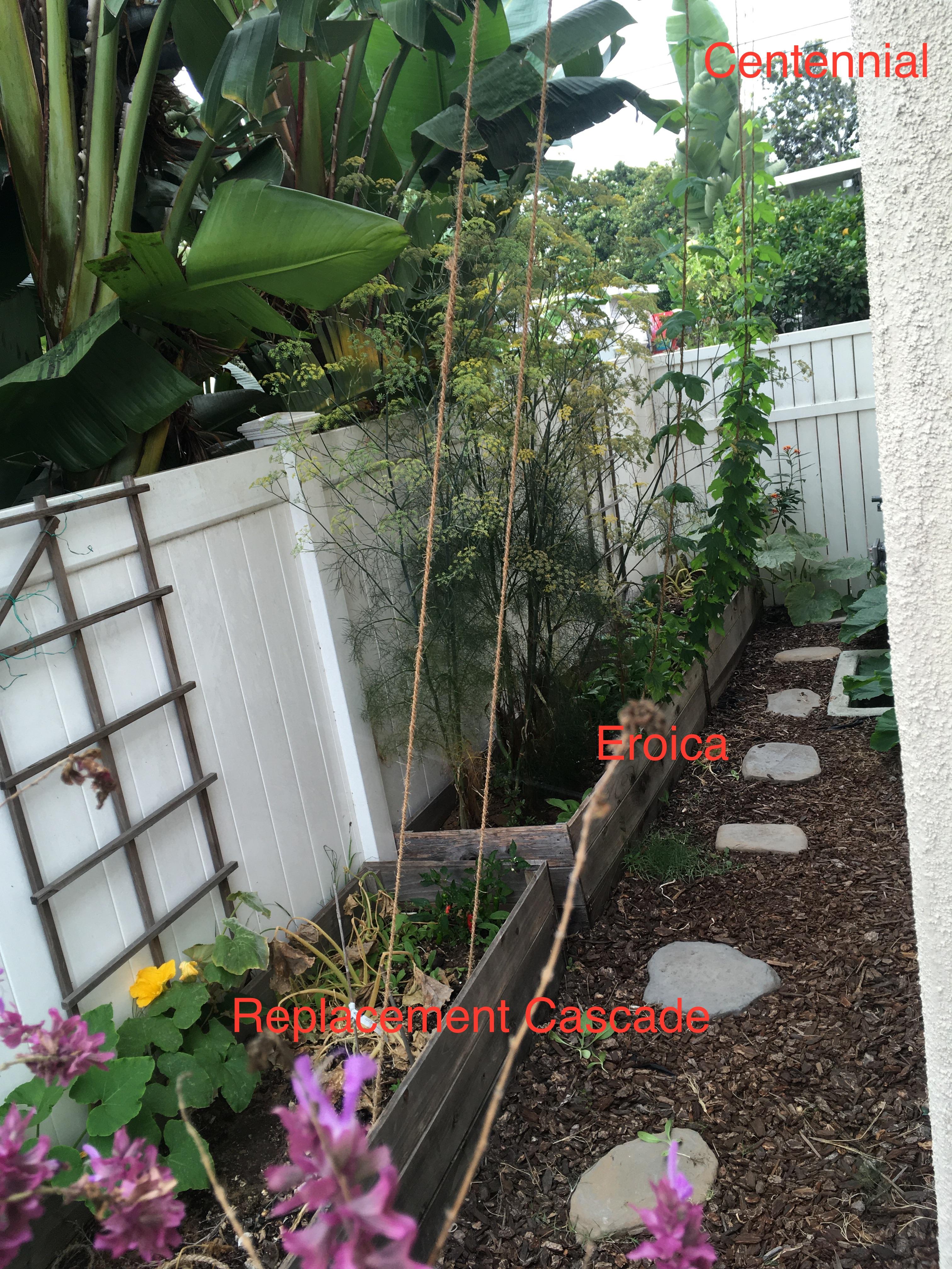 Hops_North Side_080620.JPG